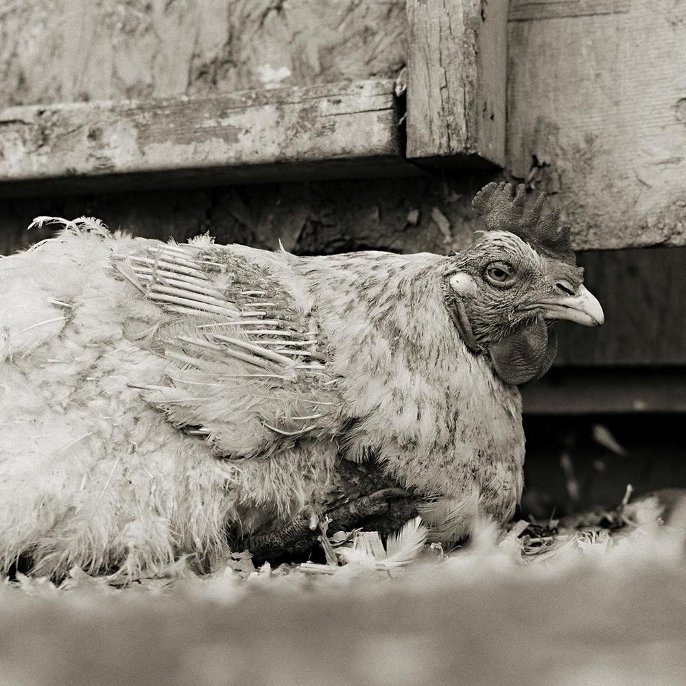 Un gallo di nome ed età ignota salvato da un allevamento intensivo ©Lisa Leshko