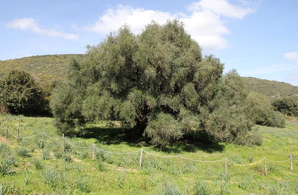 Coi suoi quattromila anni l'olivastro di Luras merita il titolo di albero più vecchio d'Italia