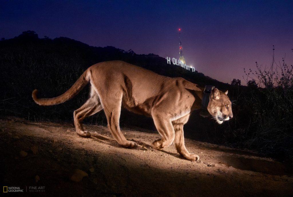 Un puma con collare identificativo si aggira sulle colline di Hollywood - Steve Winter per National Geographic
